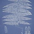 Alsophila Ornata by Aged Pixel