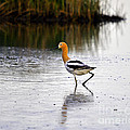 American Avocet by Al Powell Photography USA