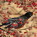 American Robin Eating Winter Berries by Inspired Nature Photography Fine Art Photography