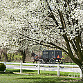 Amish Buggy Fowering Tree by David Arment