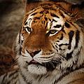 Amur Tiger by Ernie Echols