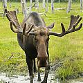 An Elk Standing In A Puddle Of Water by Doug Lindstrand