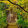 An Old Growth Douglass Fur In The Grove Of The Patriarches Mt Rainer National Park by Jeff Swan