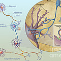 Anatomy Of Neurons by Carlyn Iverson