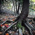 Ancient Root by Natasha Marco