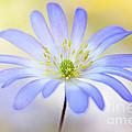 Anemone Blanda by Jacky Parker