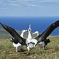 Antipodean Albatross Courtship Display by Tui De Roy