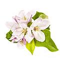 Apple Blossom by Elena Elisseeva