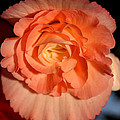 Apricot Pink Tuberous Begonia by Carole-Anne Fooks