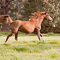 Arabian Horse Running Free by Michelle Wrighton