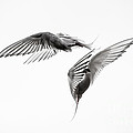 Arctic Tern - Sterna Paradisaea - Pas De Deux - Black And White by Ian Monk