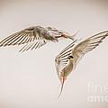 Arctic Tern - Sterna Paradisaea - Pas De Deux -hdr by Ian Monk