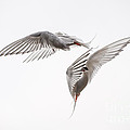 Arctic Tern - Sterna Paradisaea - Pas De Deux  by Ian Monk