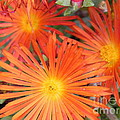 Arizona Cactus Flower