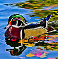 Arizona Wood Duck
