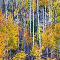 Aspen Tree Magic Cottonwood Pass by James BO  Insogna