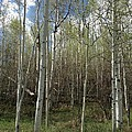 Aspens In The Springtime by Shawn Hughes