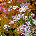 Asters by Ron Jones