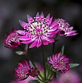 Astrantia Hadspen Blood Flower by Tim Gainey