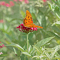 At Rest - Gulf Fritillary Butterfly by Kim Hojnacki