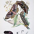 Australian Butterflies Print by Philip Ralley