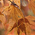 Autumn Acer by Anne Gilbert