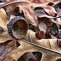 Autumn Acorn And Oak Leaves by Jennie Marie Schell