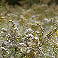 Autumn frost on meadow goldenrod