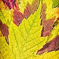 Autumn Maple Leaves by Adam Romanowicz