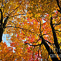 Autumn Maple Trees by Elena Elisseeva