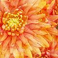 Autumn Mums Print by Heidi Smith