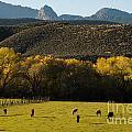 Autumn Pastures Along The Virgin River Rockville Utah by Robert Ford