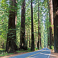 Avenue Of The Giants by Heidi Smith
