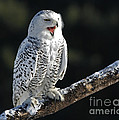 Awakened- Snowy Owl Laughing by Inspired Nature Photography Fine Art Photography