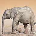 Baby Elephant  by Johan Swanepoel