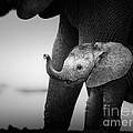 Baby Elephant Next To Cow  by Johan Swanepoel