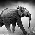Baby Elephant Running by Johan Swanepoel