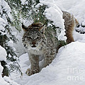 Baby Lynx Hiding In A Snowy Pine Forest by Inspired Nature Photography Fine Art Photography