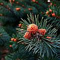 Baby Pinecones by Julie Dant