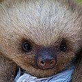 Baby Sloth by Heiko Koehrer-Wagner