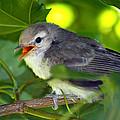Baby Sparrow In The Maple Tree by Karon Melillo DeVega