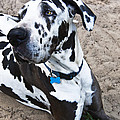 Bacchus The Great Dane Print by Sharon Cummings