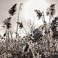 Backlit Winter Reeds by Elena Elisseeva