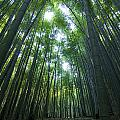 Bamboo Forest by Aaron S Bedell