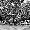 Banyan Tree by Scott Pellegrin