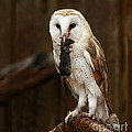 Barn Owl With Catch Of The Day by Inspired Nature Photography Fine Art Photography