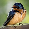 Barn Swallow Print by Ernie Echols
