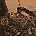 Barn Swallow by Ron Sanford
