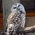 Barred Owl 264 by Joyce StJames