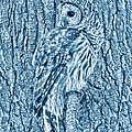 Barred Owl in Blue